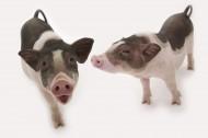 粉紅寵物豬圖片_51張