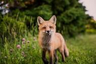 可爱的狐狸图片_13张