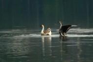在水中央的鵝圖片_8張