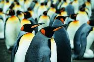 高清企鹅特写图片_16张