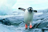 高清企鹅跳水图片_12张