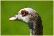 鵝的頭部特寫圖片_9張