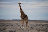 高大的长颈鹿图片_14张