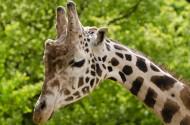可爱的长颈鹿图片_14张