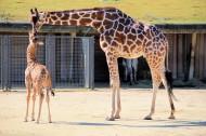 长颈鹿图片_26张