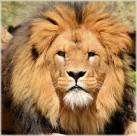 公狮子图片_8张