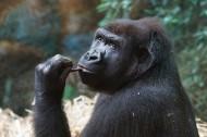 呆萌的大猩猩圖片_13張