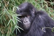 可爱的大猩猩图片_12张