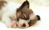 可爱的睡梦中的狗狗图片_32张