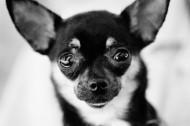 狗的黑白圖片_36張