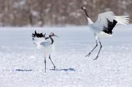 白色的丹顶鹤鸟类图片_8张