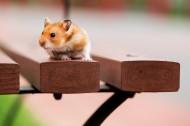 可爱的小豚鼠图片_7张