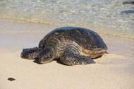 憨態可掬的海龜動物圖片_14張