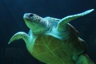 憨态可掬的海龟图片_10张