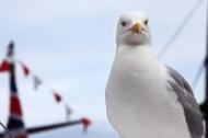 """海上航行的""""预报员""""海鸥图片_14张"""