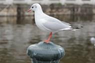 白色的海鸥图片_9张