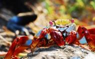 海滩上的螃蟹图片_22张
