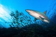 海中鯊魚圖片_10張