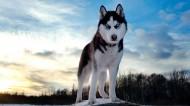雪橇犬哈士奇图片_27张