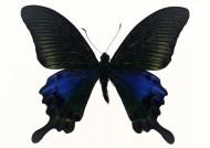 黑色蝴蝶标本图片_27张