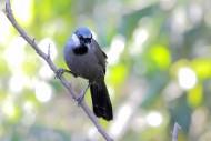 中型鳥之黑喉噪鹛圖片_15張