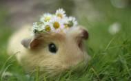 动物小豚鼠荷兰鼠图片_11张