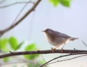 墩圆的褐柳莺图片_12张