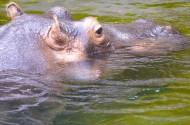 露出水面的河馬頭部圖片_12張