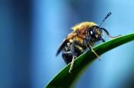 微距蜜蜂图片_9张