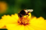 蜜蜂采蜜与授粉图片_32张