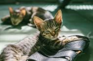 可爱的花灰色猫咪图片_10张
