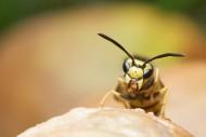 黄蜂的特写图片_13张