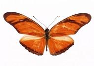 黄色蝴蝶标本图片_30张