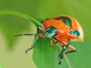 黄金龟甲虫图片_14张