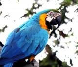 色彩漂亮的黃藍金剛鸚鵡圖片_15張