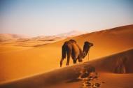 荒漠中的骆驼图片_12张