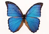 百种蝴蝶标本图片_200张