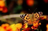 可爱蝴蝶图片_10张