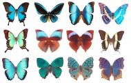 蝴蝶标本图片_14张