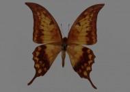 蝴蝶标本图片_26张