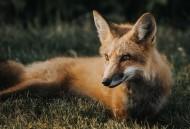神秘灵气的狐狸图片_10张
