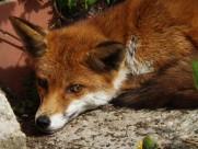 毛茸茸的狐狸图片_10张