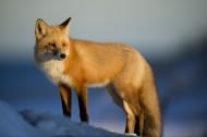 可爱的狐狸图片_11张