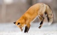 狐狸图片_8张