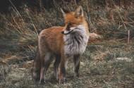 野外的狐狸图片_13张