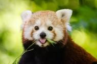 活泼可爱的小熊猫图片_10张