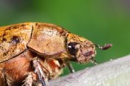 甲虫微距图片_15张