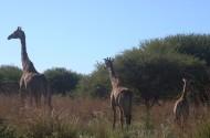健壮的长颈鹿图片_15张