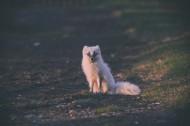 体型娇小的白狐图片_12张