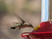 身体娇小的蜂鸟图片_13张